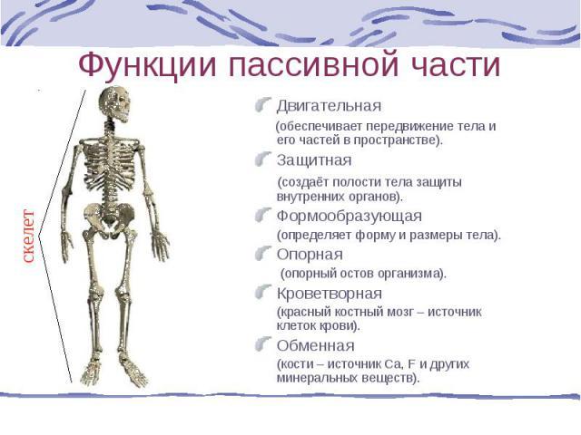Двигательная Двигательная (обеспечивает передвижение тела и его частей в пространстве). Защитная (создаёт полости тела защиты внутренних органов). Формообразующая (определяет форму и размеры тела). Опорная (опорный остов организма). Кроветворная (кр…