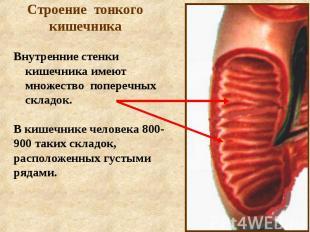 Строение тонкого кишечника Внутренние стенки кишечника имеют множество поперечны