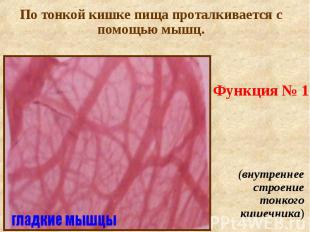 Функция № 1 (внутреннее строение тонкого кишечника)