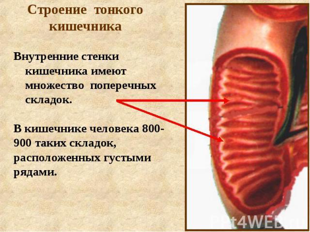 Строение тонкого кишечника Внутренние стенки кишечника имеют множество поперечных складок.