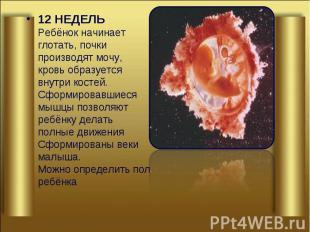 12 НЕДЕЛЬ Ребёнок начинает глотать, почки производят мочу, кровь образуется внут