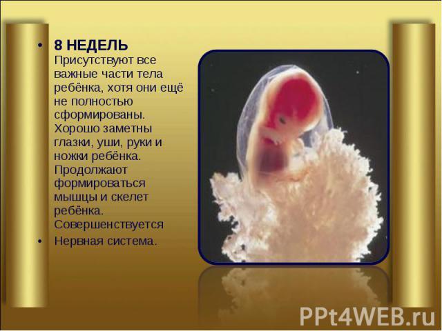 8 НЕДЕЛЬ Присутствуют все важные части тела ребёнка, хотя они ещё не полностью сформированы. Хорошо заметны глазки, уши, руки и ножки ребёнка. Продолжают формироваться мышцы и скелет ребёнка. Совершенствуется 8 НЕДЕЛЬ Присутствуют все важные части т…