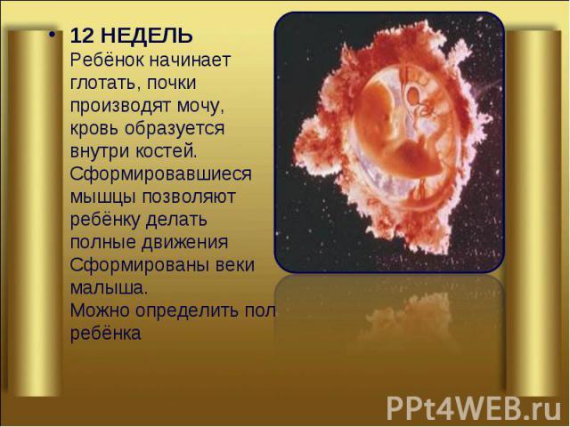 12 НЕДЕЛЬ Ребёнок начинает глотать, почки производят мочу, кровь образуется внутри костей. Сформировавшиеся мышцы позволяют ребёнку делать полные движения Сформированы веки малыша. Можно определить пол ребёнка 12 НЕДЕЛЬ Ребёнок начинает глотать, поч…