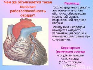 Чем же объясняется такая высокая работоспособность сердца?