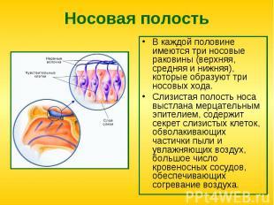 Носовая полость В каждой половине имеются три носовые раковины (верхняя, средняя