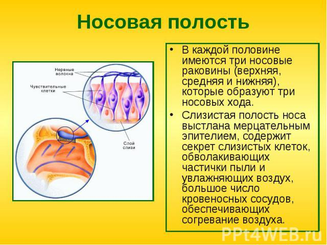 Носовая полость В каждой половине имеются три носовые раковины (верхняя, средняя и нижняя), которые образуют три носовых хода. Слизистая полость носа выстлана мерцательным эпителием, содержит секрет слизистых клеток, обволакивающих частички пыли и у…