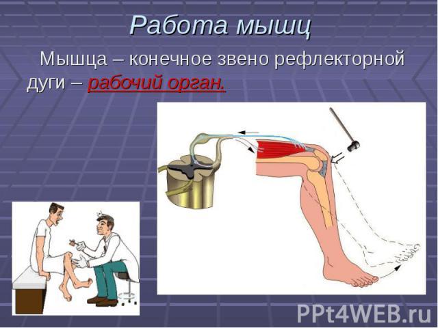 Мышца – конечное звено рефлекторной дуги – рабочий орган. Мышца – конечное звено рефлекторной дуги – рабочий орган.