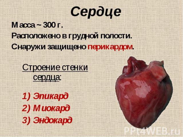 Строение стенки сердца: Строение стенки сердца: Эпикард Миокард Эндокард