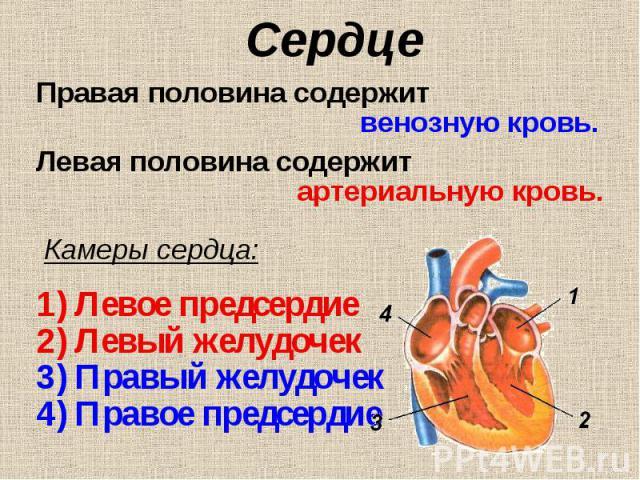 Правая половина содержит Правая половина содержит венозную кровь. Левая половина содержит артериальную кровь. Камеры сердца: Левое предсердие Левый желудочек Правый желудочек Правое предсердие