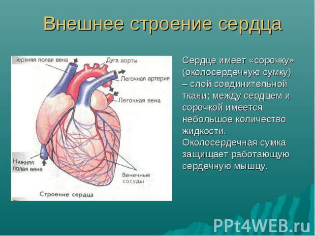 Сердце имеет «сорочку» (околосердечную сумку) – слой соединительной ткани; между сердцем и сорочкой имеется небольшое количество жидкости. Околосердечная сумка защищает работающую сердечную мышцу. Сердце имеет «сорочку» (околосердечную сумку) – слой…