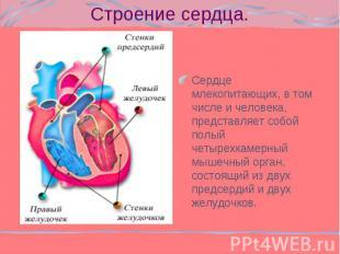 Сердце млекопитающих, в том числе и человека, представляет собой полый четырехка