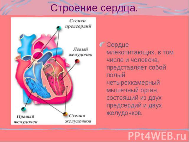 Сердце млекопитающих, в том числе и человека, представляет собой полый четырехкамерный мышечный орган, состоящий из двух предсердий и двух желудочков. Сердце млекопитающих, в том числе и человека, представляет собой полый четырехкамерный мышечный ор…