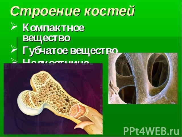 Компактное вещество Компактное вещество Губчатое вещество Надкостница