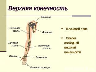 Плечевой пояс Плечевой пояс Скелет свободной верхней конечности