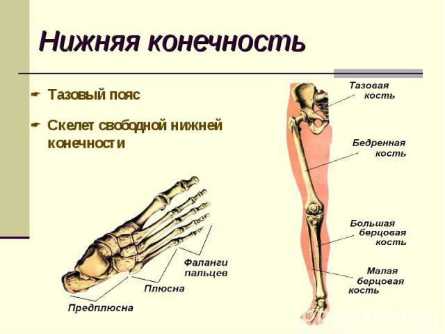 Тазовый пояс Тазовый пояс Скелет свободной нижней конечности