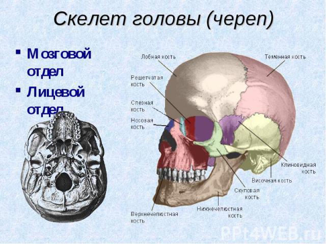 Мозговой отдел Мозговой отдел Лицевой отдел