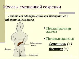 Работают одновременно как экзокринные и эндокринные железы. Работают одновременн