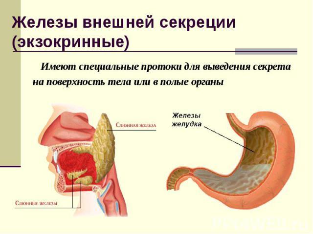 Имеют специальные протоки для выведения секрета Имеют специальные протоки для выведения секрета на поверхность тела или в полые органы