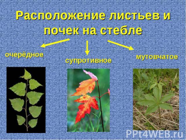 Расположение листьев и почек на стебле