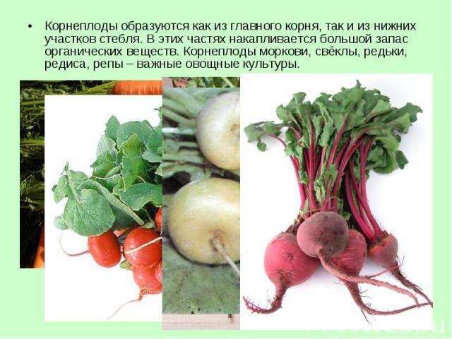 Корнеплоды образуются как из главного корня, так и из нижних участков стебля. В этих частях накапливается большой запас органических веществ. Корнеплоды моркови, свёклы, редьки, редиса, репы – важные овощные культуры. Корнеплоды образуются как из гл…