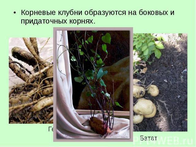 Корневые клубни образуются на боковых и придаточных корнях. Корневые клубни образуются на боковых и придаточных корнях.