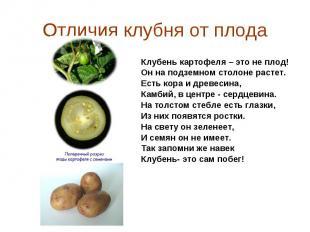 Клубень картофеля – это не плод! Клубень картофеля – это не плод! Он на подземно