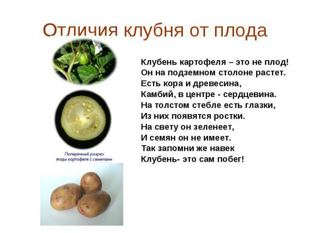 Клубень картофеля – это не плод! Клубень картофеля – это не плод! Он на подземном столоне растет. Есть кора и древесина, Камбий, в центре - сердцевина. На толстом стебле есть глазки, Из них появятся ростки. На свету он зеленеет, И семян он не имеет.…