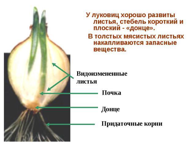 У луковиц хорошо развиты листья, стебель короткий и плоский - «донце». У луковиц хорошо развиты листья, стебель короткий и плоский - «донце». В толстых мясистых листьях накапливаются запасные вещества.