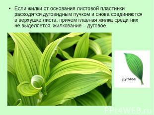 Если жилки от основания листовой пластинки расходятся дуговидным пучком и снова