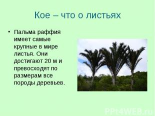Пальма раффия имеет самые крупные в мире листья. Они достигают 20 м и превосходя