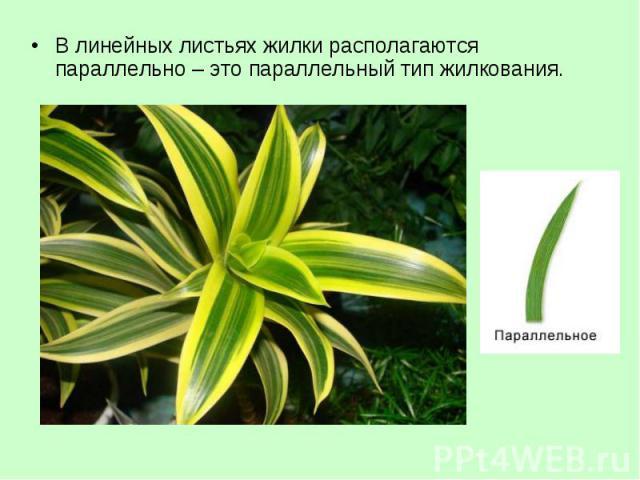 В линейных листьях жилки располагаются параллельно – это параллельный тип жилкования. В линейных листьях жилки располагаются параллельно – это параллельный тип жилкования.