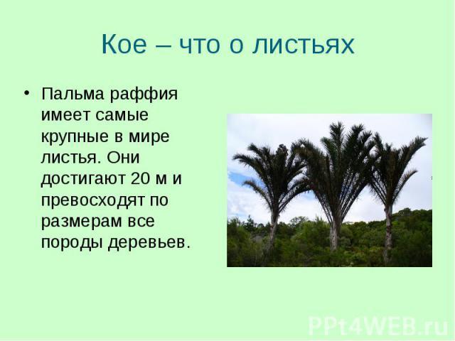 Пальма раффия имеет самые крупные в мире листья. Они достигают 20 м и превосходят по размерам все породы деревьев. Пальма раффия имеет самые крупные в мире листья. Они достигают 20 м и превосходят по размерам все породы деревьев.