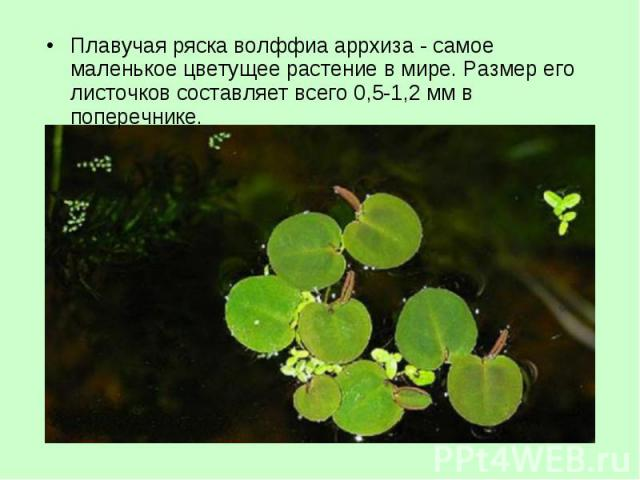 Плавучая ряска волффиа аррхиза - самое маленькое цветущее растение в мире. Размер его листочков составляет всего 0,5-1,2 мм в поперечнике. Плавучая ряска волффиа аррхиза - самое маленькое цветущее растение в мире. Размер его листочков составляет все…