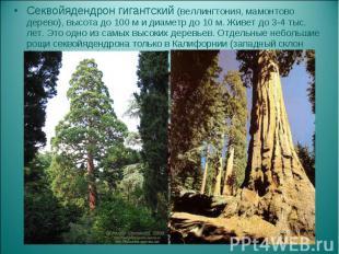 Секвойядендрон гигантский (веллингтония, мамонтово дерево), высота до 100 м и ди