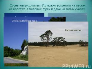 Сосны неприхотливы. Их можно встретить на песках, на болотах, в меловых горах и