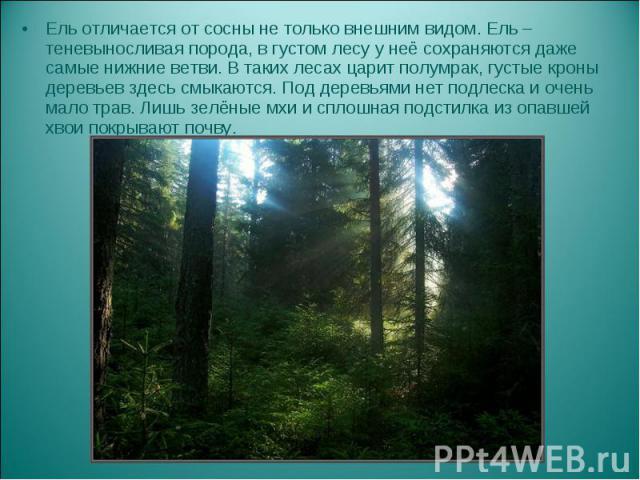 Ель отличается от сосны не только внешним видом. Ель – теневыносливая порода, в густом лесу у неё сохраняются даже самые нижние ветви. В таких лесах царит полумрак, густые кроны деревьев здесь смыкаются. Под деревьями нет подлеска и очень мало трав.…