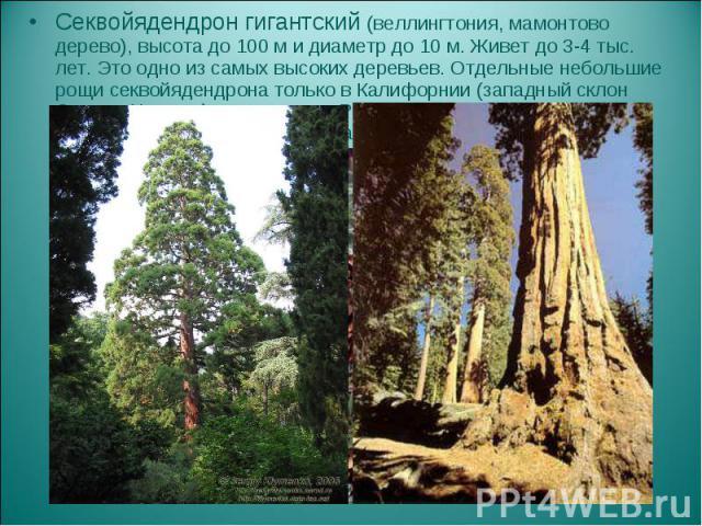 Секвойядендрон гигантский (веллингтония, мамонтово дерево), высота до 100 м и диаметр до 10 м. Живет до 3-4 тыс. лет. Это одно из самых высоких деревьев. Отдельные небольшие рощи секвойядендрона только в Калифорнии (западный склон Сьерра-Невады), за…