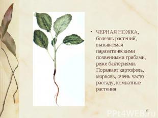ЧЕРНАЯ НОЖКА, болезнь растений, вызываемая паразитическими почвенными грибами, р