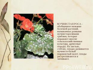 МУЧНИСТАЯ РОСА - обобщенное название болезней растений, вызываемых разными мучни