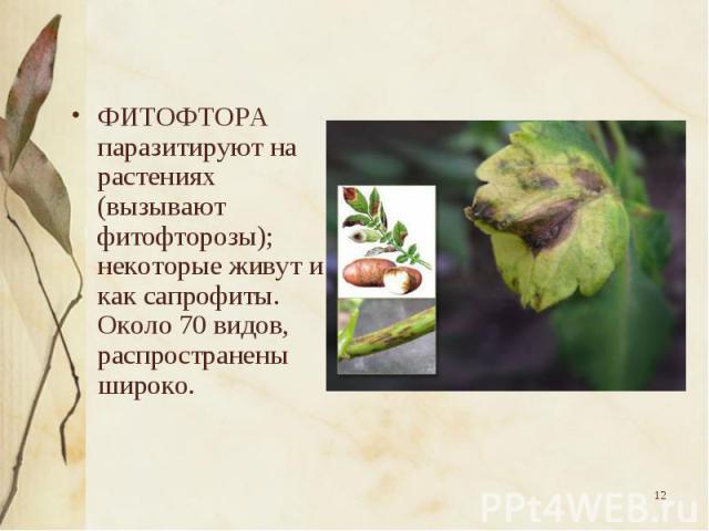 ФИТОФТОРА паразитируют на растениях (вызывают фитофторозы); некоторые живут и как сапрофиты. Около 70 видов, распространены широко. ФИТОФТОРА паразитируют на растениях (вызывают фитофторозы); некоторые живут и как сапрофиты. Около 70 видов, распрост…