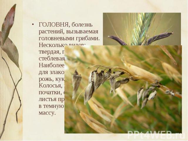 ГОЛОВНЯ, болезнь растений, вызываемая головневыми грибами. Несколько видов: твердая, пыльная, стеблевая, пузырчатая. Наиболее вредоносна для злаков (пшеница, рожь, кукуруза и др.). Колосья, метелки, початки, стебли и листья превращаются в темную спо…