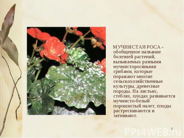 МУЧНИСТАЯ РОСА - обобщенное название болезней растений, вызываемых разными мучнисторосяными грибами, которые поражают многие сельскохозяйственные культуры, древесные породы. На листьях, стеблях, плодах развивается мучнисто-белый порошистый налет, пл…