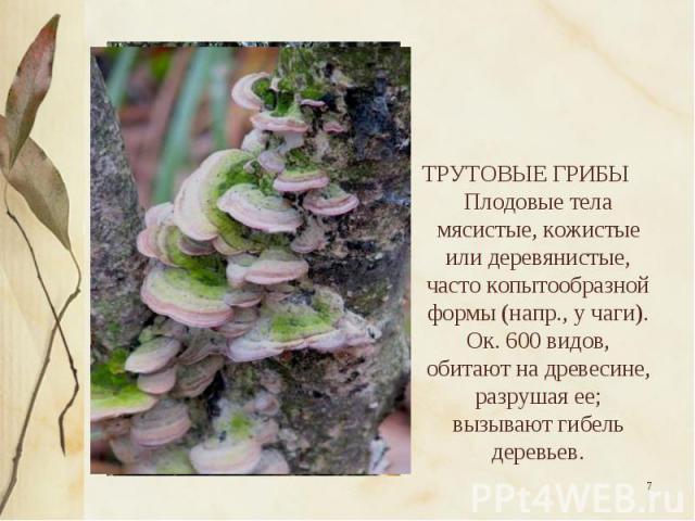 ТРУТОВЫЕ ГРИБЫ Плодовые тела мясистые, кожистые или деревянистые, часто копытообразной формы (напр., у чаги). Ок. 600 видов, обитают на древесине, разрушая ее; вызывают гибель деревьев.