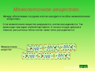 Между оболочками соседних клеток находится особое межклеточное вещество.. Между