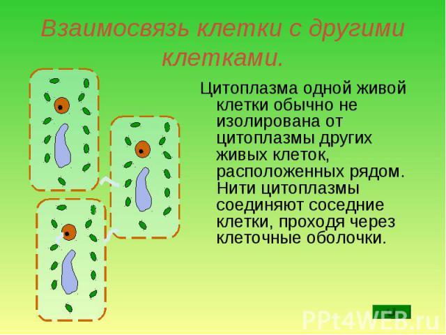 Цитоплазма одной живой клетки обычно не изолирована от цитоплазмы других живых клеток, расположенных рядом. Нити цитоплазмы соединяют соседние клетки, проходя через клеточные оболочки. Цитоплазма одной живой клетки обычно не изолирована от цитоплазм…