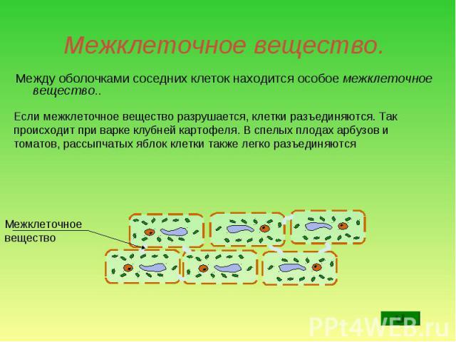 Между оболочками соседних клеток находится особое межклеточное вещество.. Между оболочками соседних клеток находится особое межклеточное вещество..