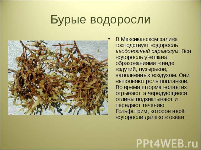 В Мексиканском заливе господствует водоросль ягодоносный саргассум. Вся водоросль увешана образованиями в виде вздутий, пузырьков, наполненных воздухом. Они выполняют роль поплавков. Во время шторма волны их отрывают, а чередующиеся отливы подхватыв…