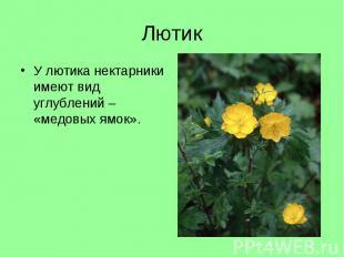 У лютика нектарники имеют вид углублений – «медовых ямок». У лютика нектарники и