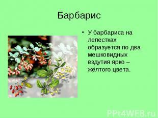 У барбариса на лепестках образуется по два мешковидных вздутия ярко – жёлтого цв
