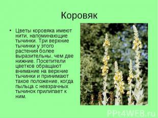 Цветы коровяка имеют нити, напоминающие тычинки. Три верхние тычинки у этого рас